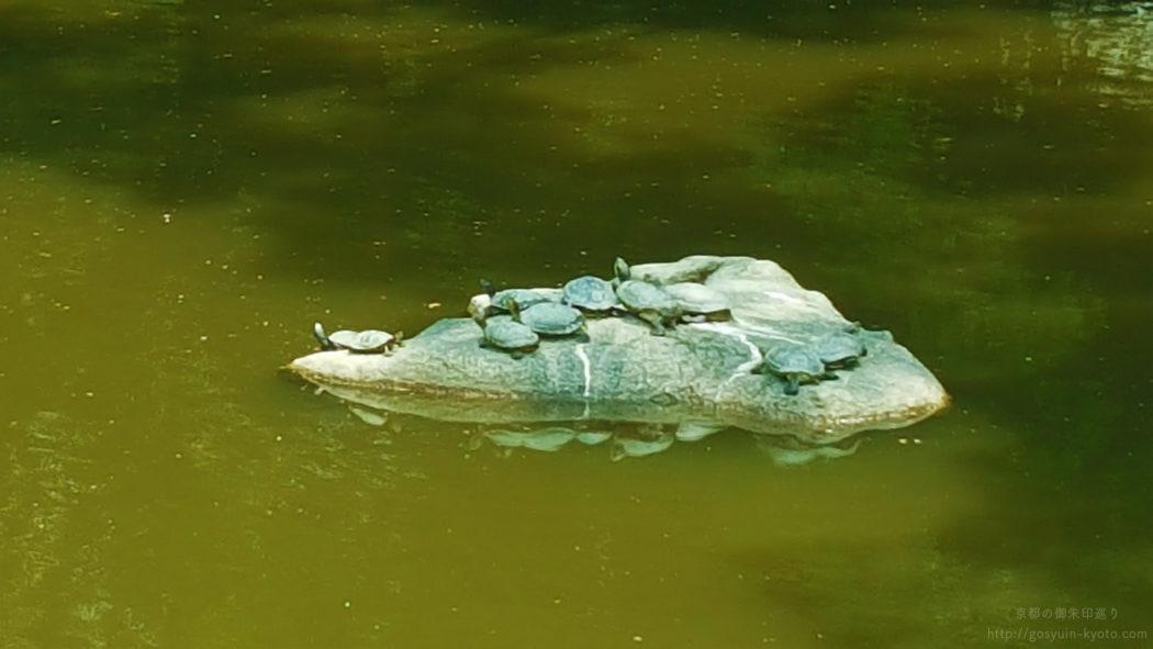 京都御苑の九条池の亀
