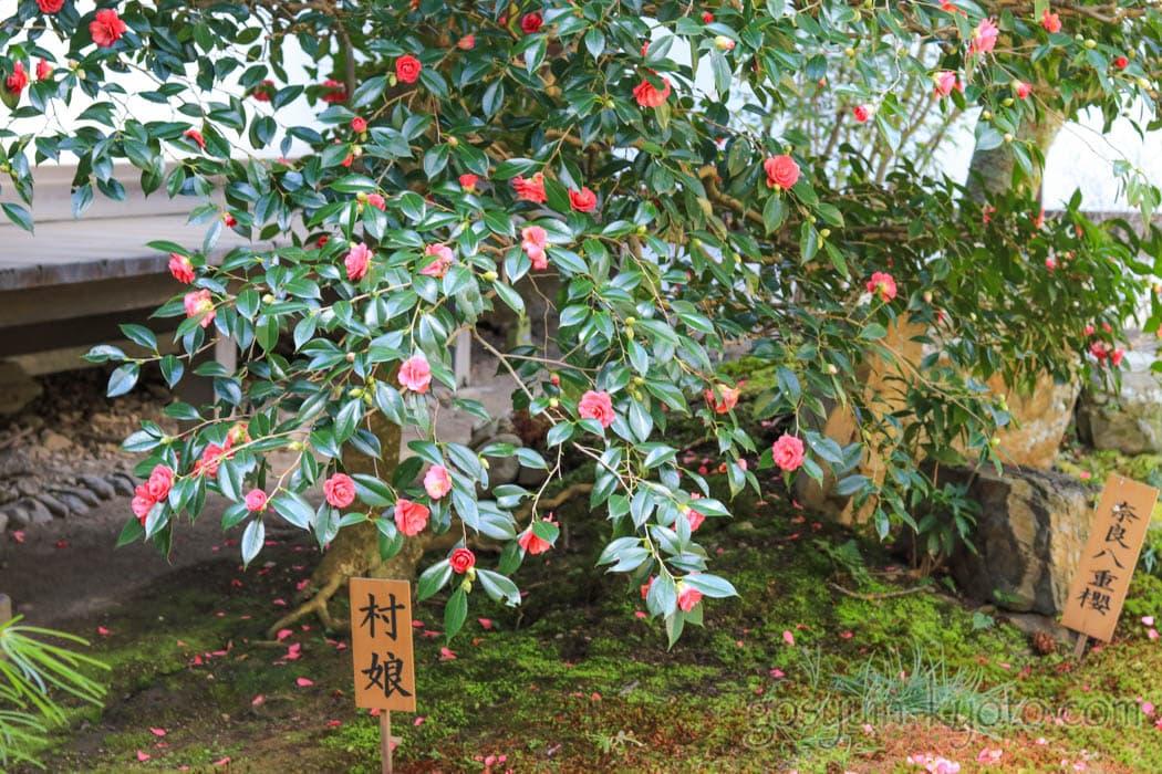 京都市上京区にある宝鏡寺の椿