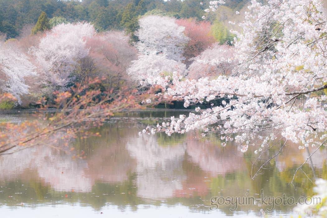 京都市右京区の龍安寺の桜