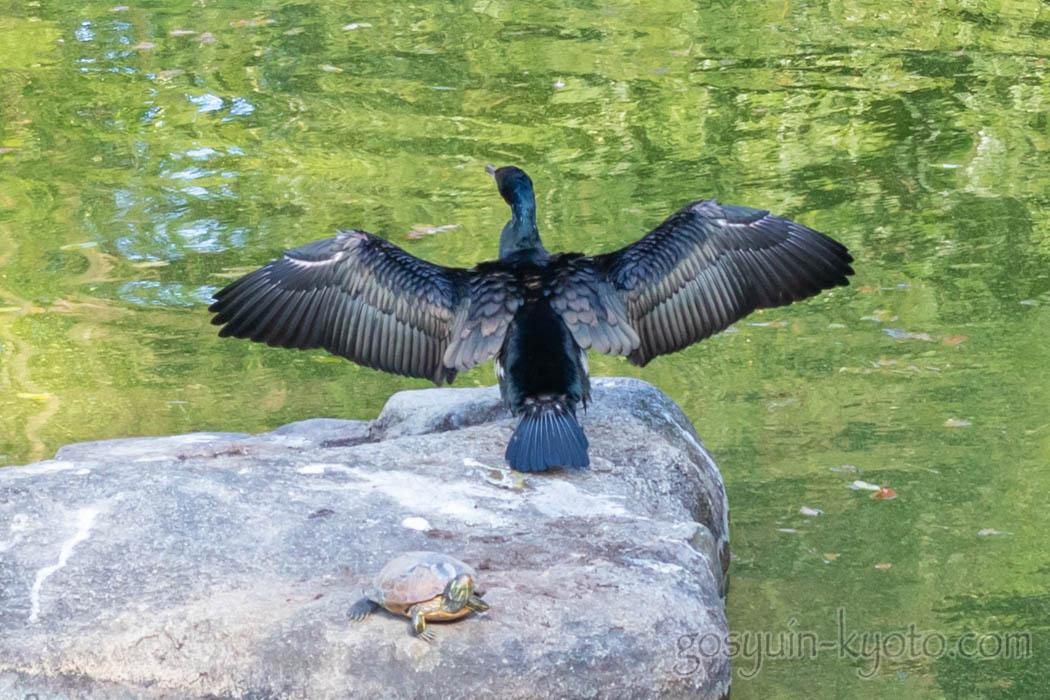 京都御苑の九条池のカワウ