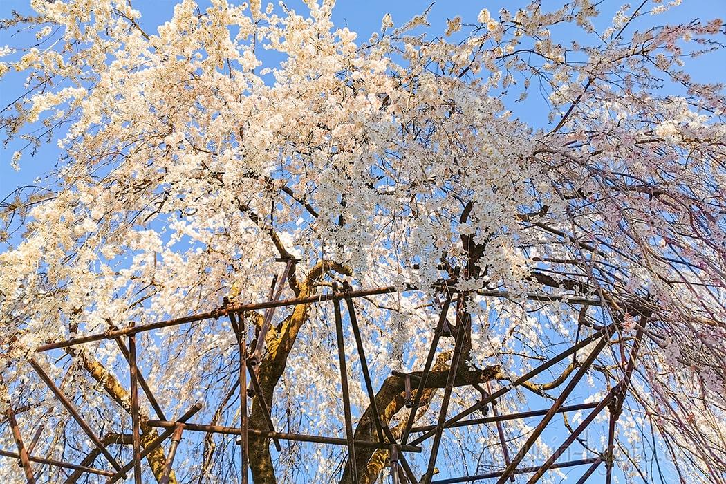 千本釈迦堂の阿亀桜