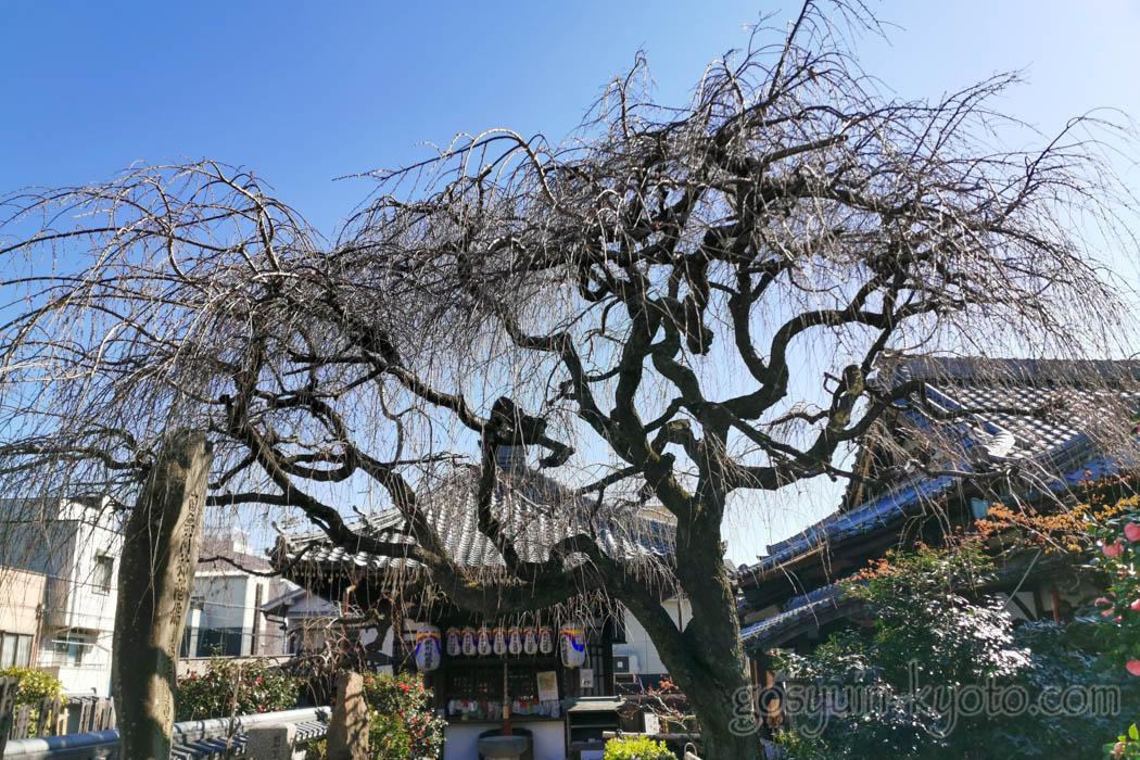 椿寺(地蔵院)の桜の木